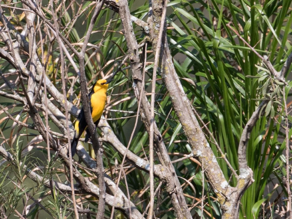 Saffron-cowled Blackbird_© John Sterling