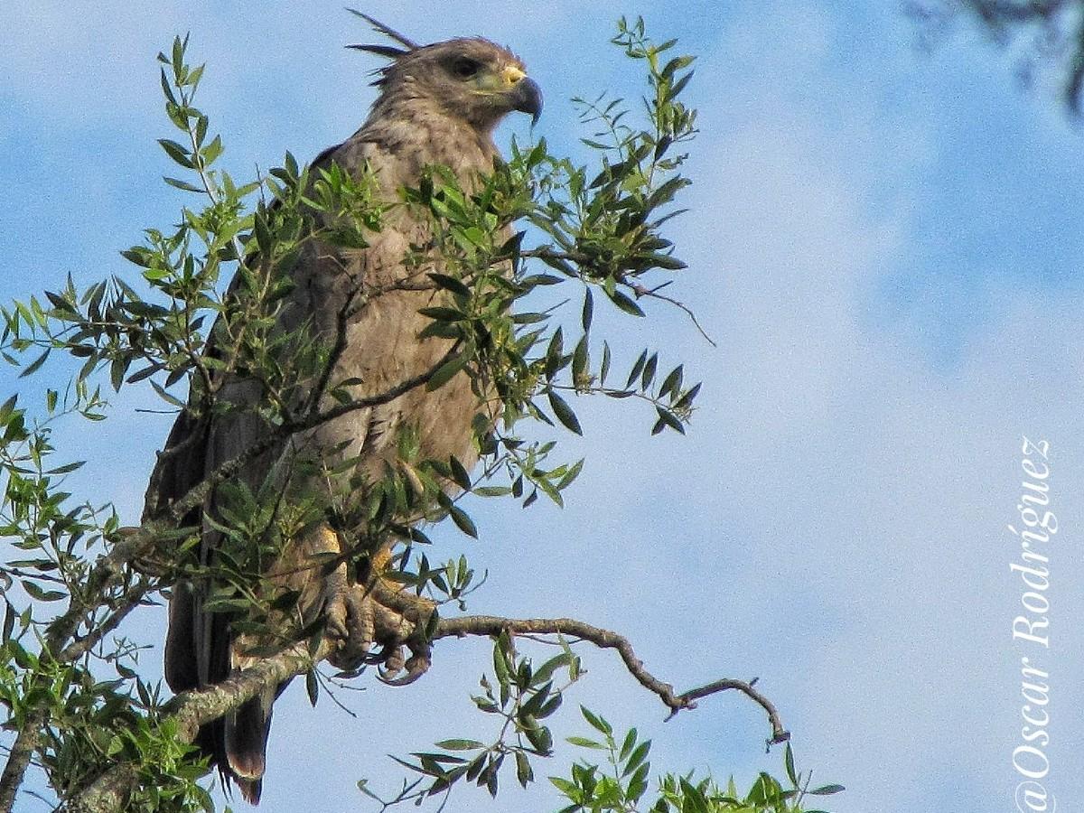 Chaco Eagle_© Oscar Rodriguez