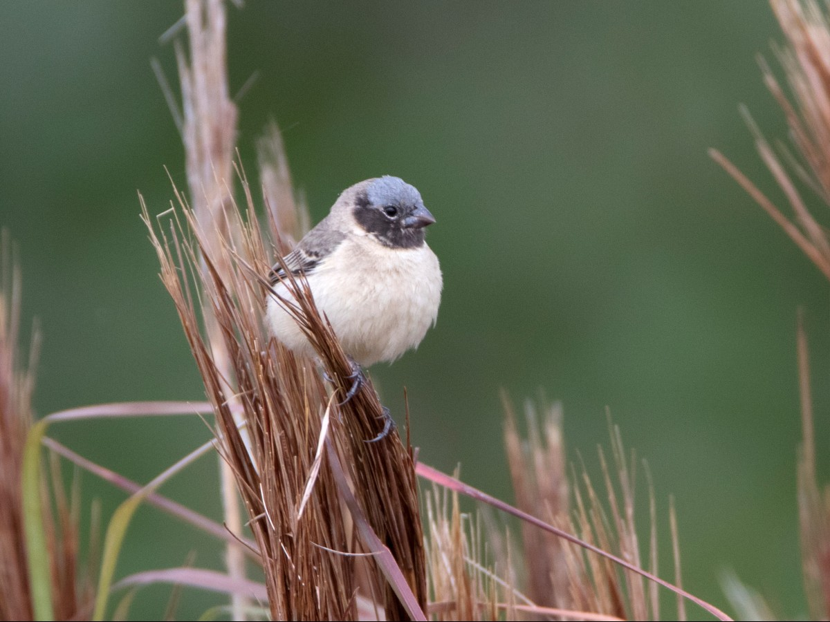 Ibera Seedeater_© Oscar Bordon