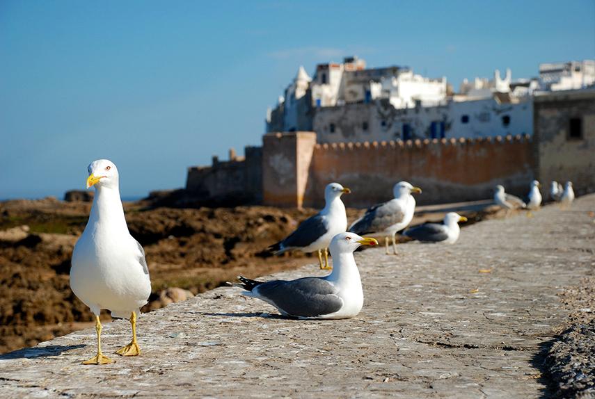mouettes à Essaouira, Maroc