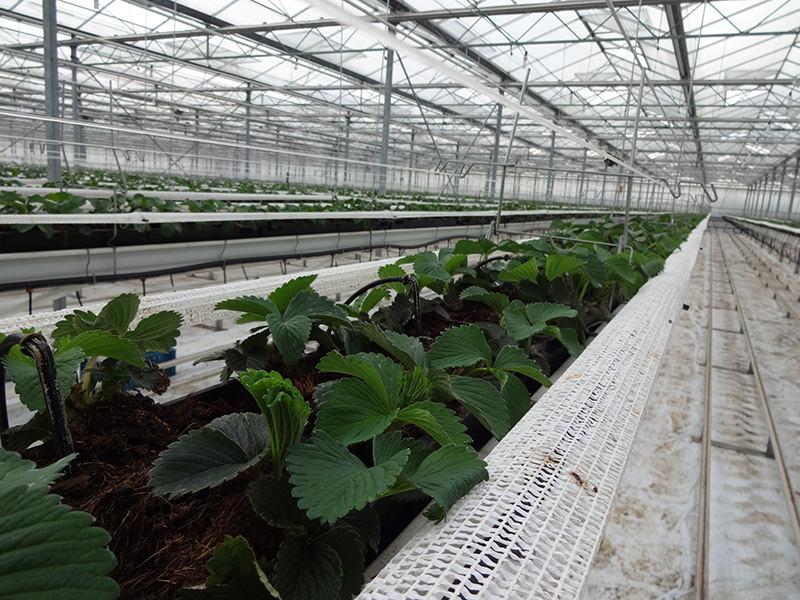 ErdbeerennetzFraga53T