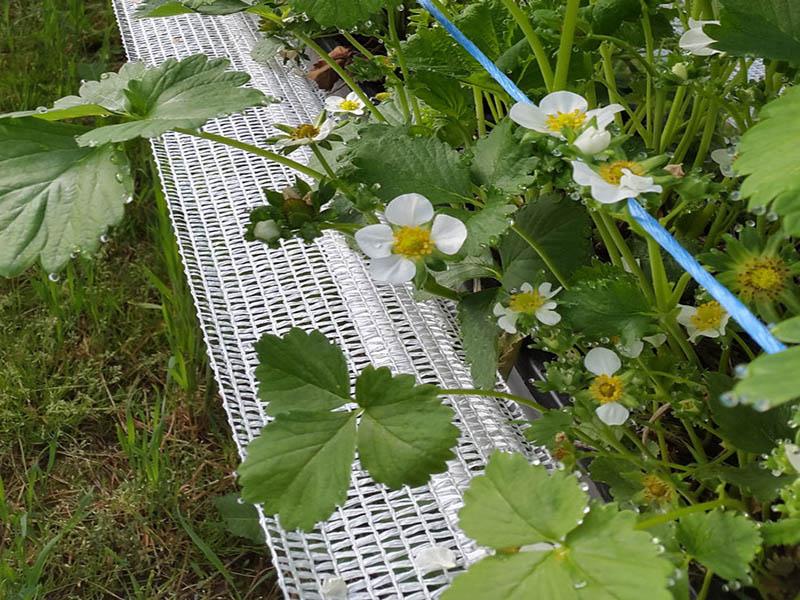 Fraga53T Erdbeerennetz