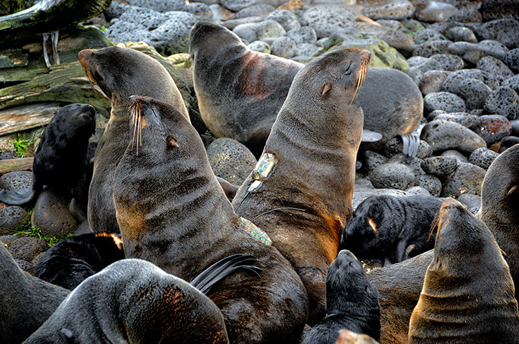 Tagged northern fur seals
