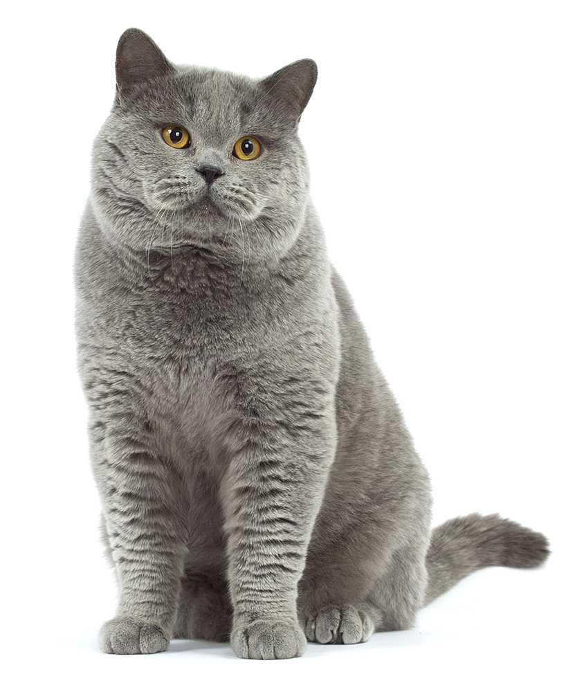 adult cat