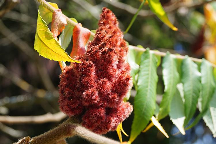 Der Essigbaum verdrängt die einheimische Pflanzenwelt.