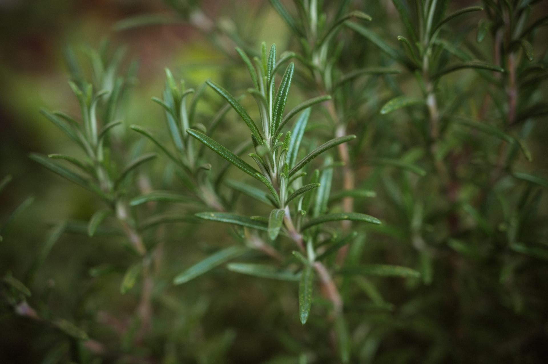 Kräuter aus Garten - Rosmarin