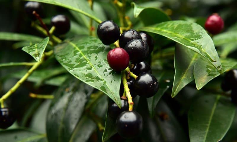 Die hier oft als Hecken- und Zierpflanze verwendeten Kirschlorbeersträucher sind giftig