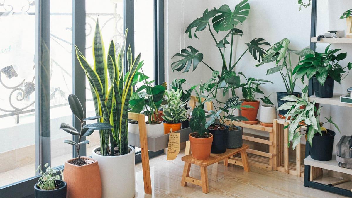 Zimmerpflanzen verbessern das Raumklima