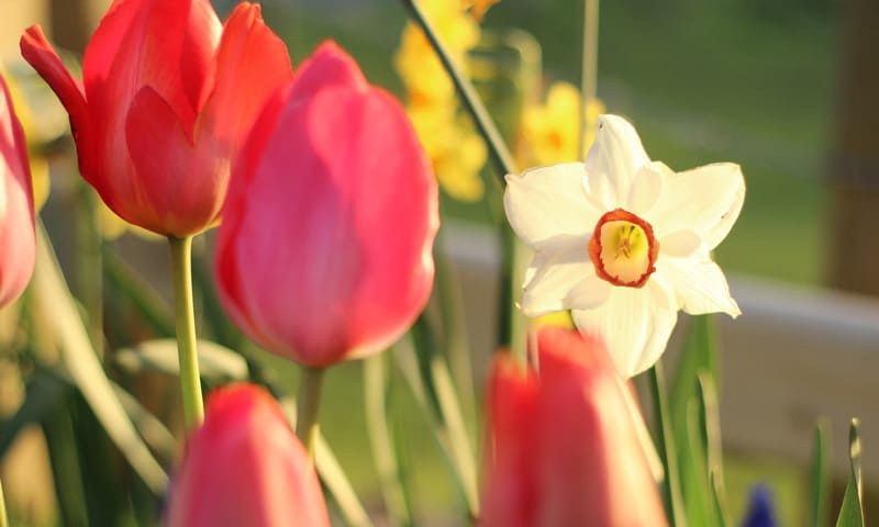 Blühende Narzissen und Tulpen