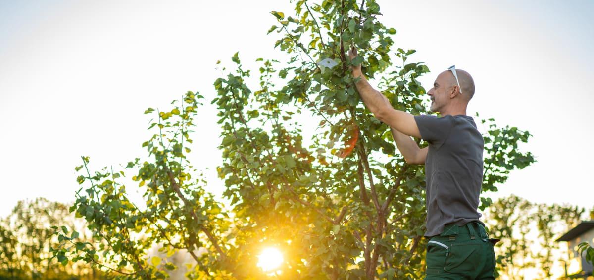 Baumpflege: Mann schneidet Baumkrone
