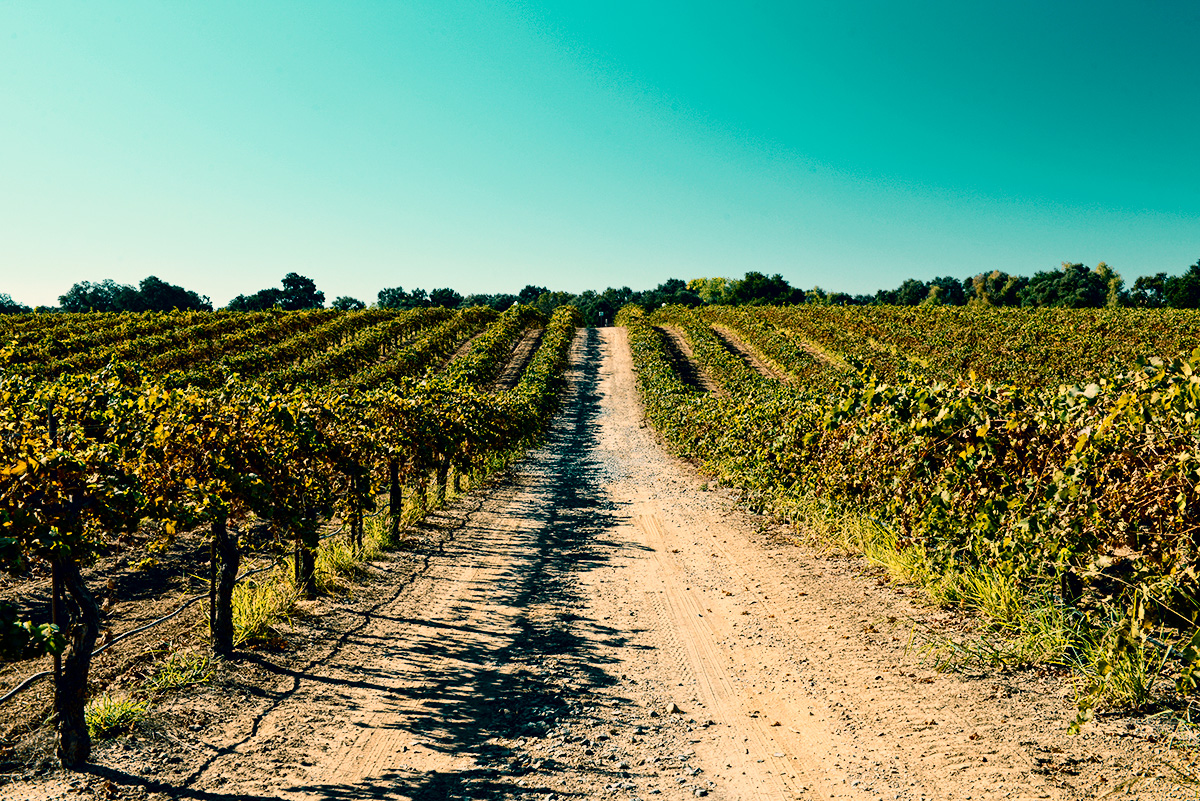 A dirt path going straight with wine vines on both sides