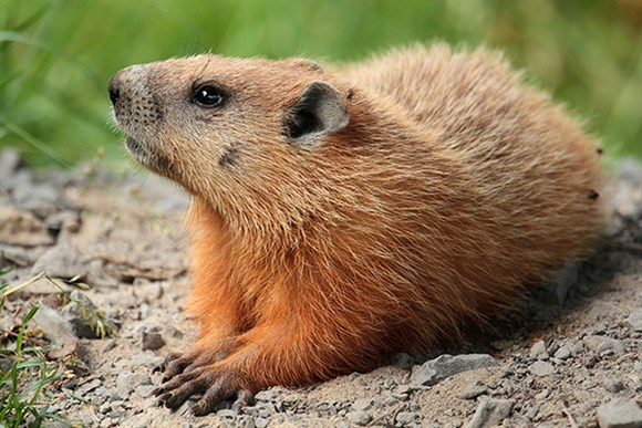 Groundhog on Laval University campus, Quebec, Canada. Photo by Simon Piere Barrette (CC BY-SA 3.0)