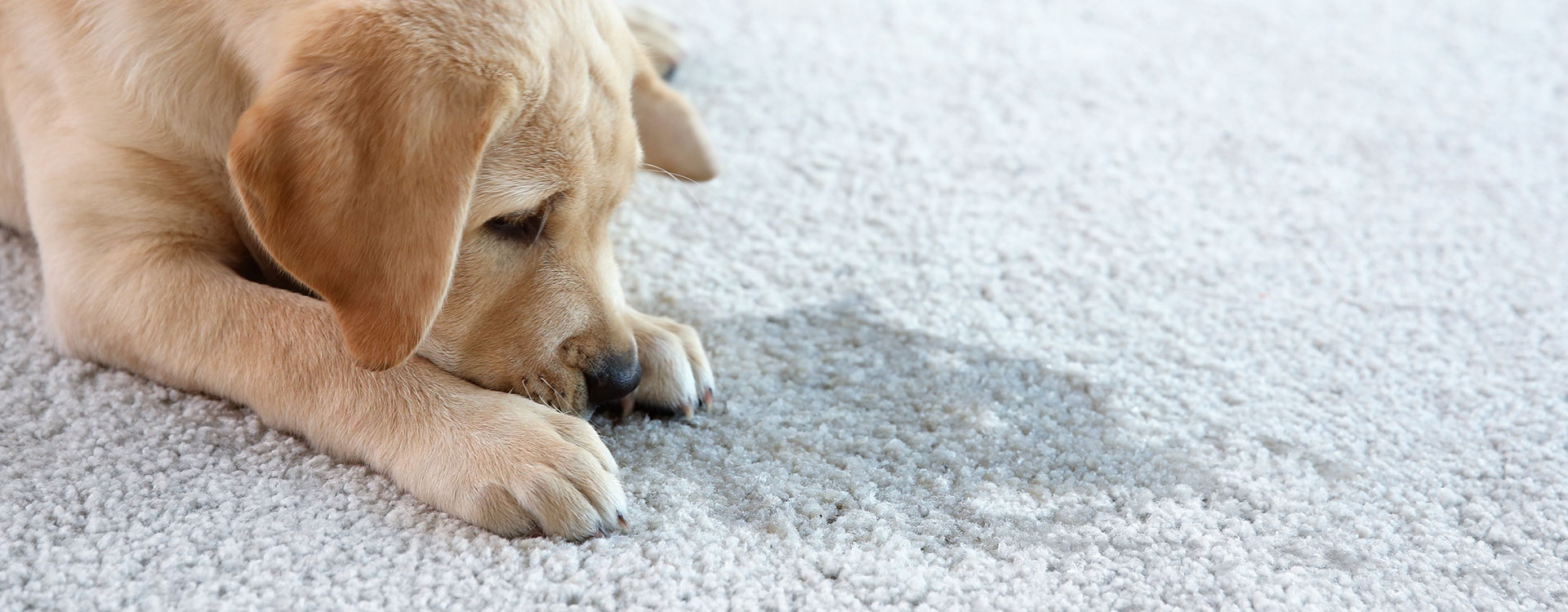We remove pet stains from carpets and the odors that come with them!