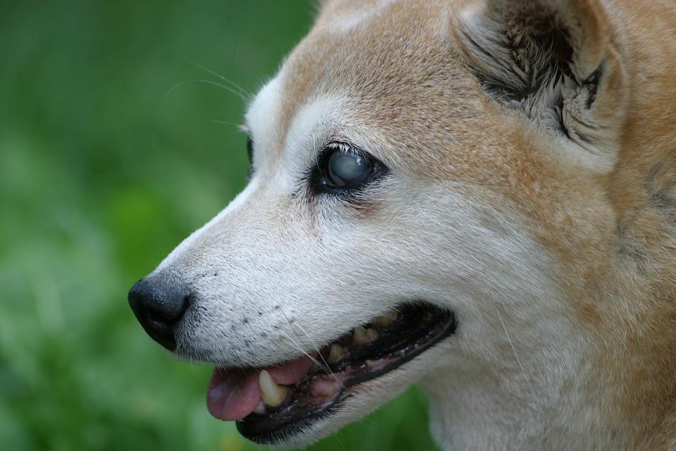 A blind Shiba Inu (dog breed)