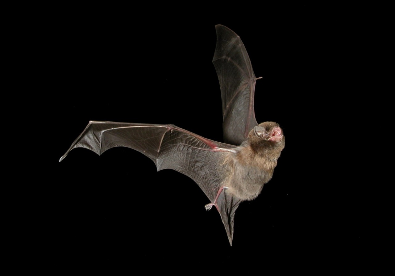 A photo of a bat flying, shows it's tiny eyes which are not as useful.