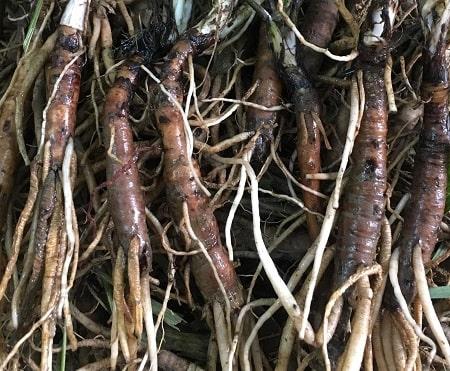 Sâm cau : cây thuốc ngâm rượu bổ thận tráng dương tăng cường sinh lực