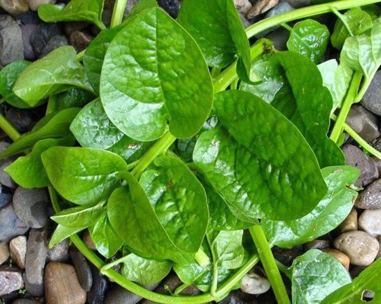 Những sai lầm nguy hiểm khi ăn rau mồng tơi mà ai cũng có thể mắc phải