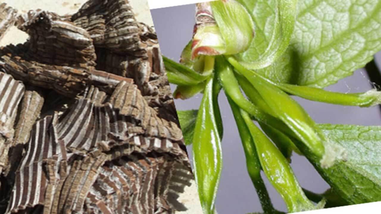 Đỗ trọng - Cây thuốc quý trong lĩnh vực xương khớp - Khớp An Việt