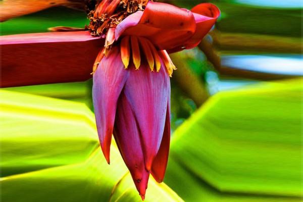 Hoa chuối: Ngừa ung thư, chữa nhiều bệnh cực kỳ tốt | Sức khỏe | Báo điện  tử Tiền Phong