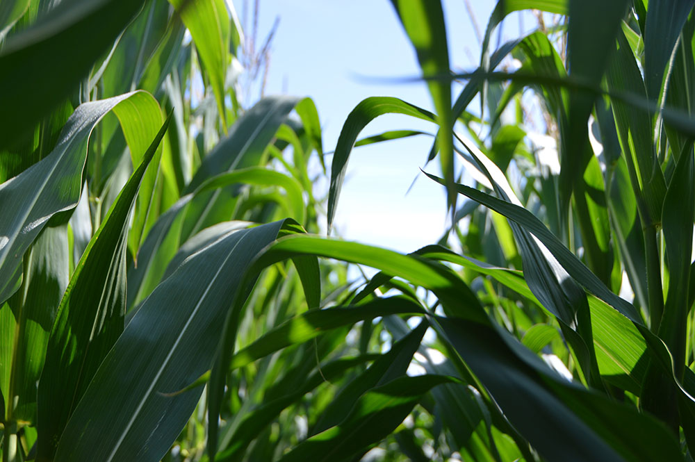 Late planted corn prone to stress, hormone imbalance, rapid growth syndrome.