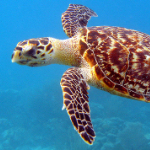 Green and Hawksbill turtle