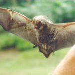 Horary Bat