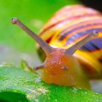Oahu tree snail