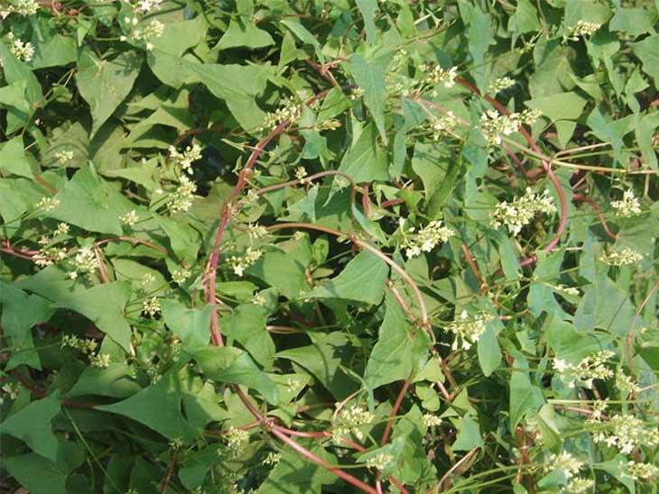 Một số đặc điểm của cây hà thủ ô đỏ