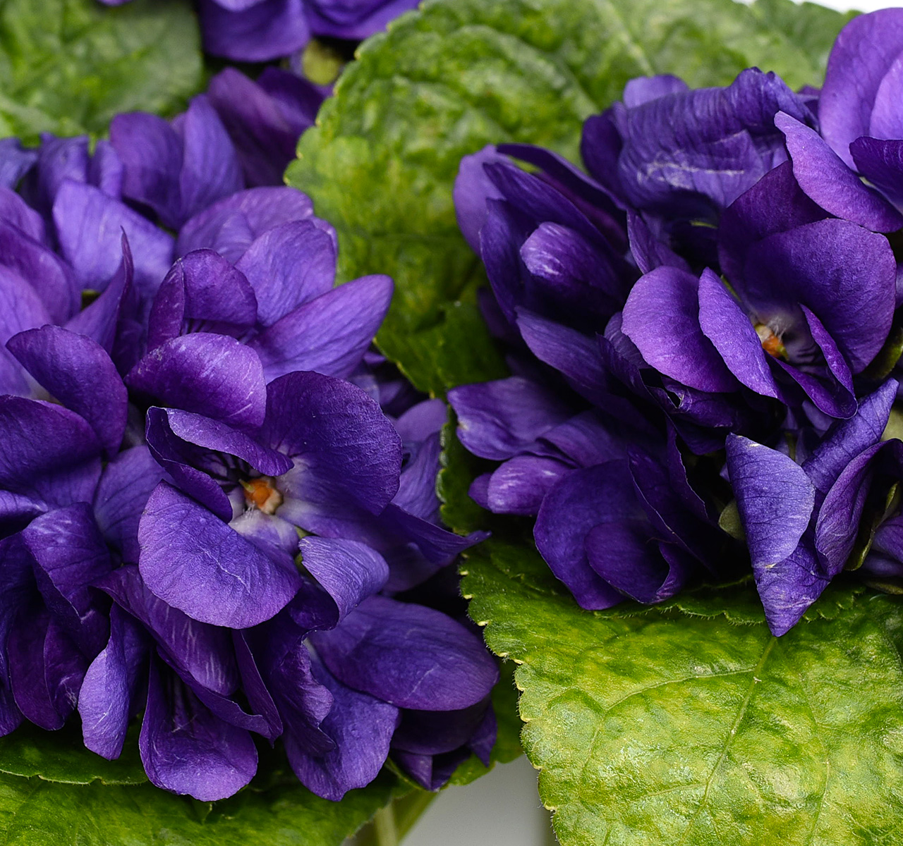 Kubo Pâtisserie - Violettes
