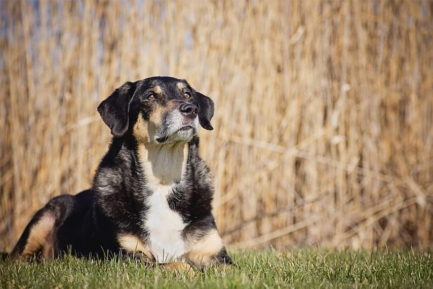 Photo chien âgé dans un parc à Brossard