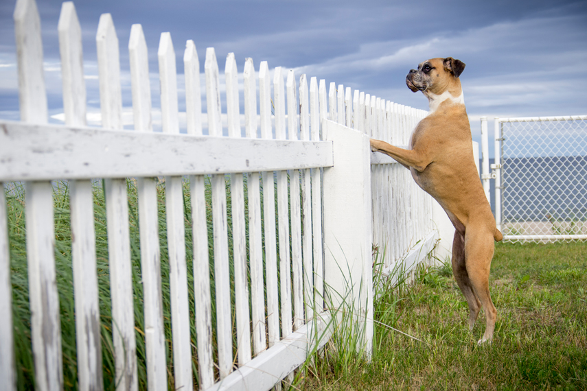 Photo chien boxer dog
