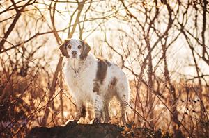 Portrait vieux chien épagneul Breton à Brossard.  Brittany Spaniel portrait.