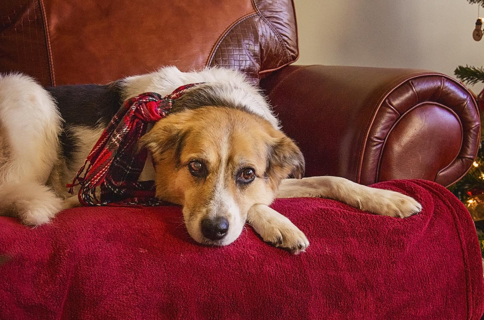 Photo hommage chien âgé domicile Brossard