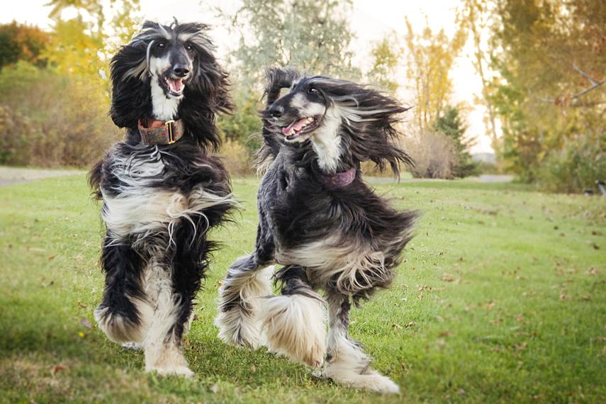 Portait deux chiens lévriers afghan hound dogs
