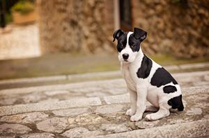 Portrait d'un chiot, puppy portrait American Staffordshire