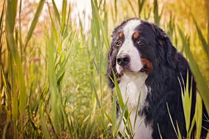 Portrait de chien bouvier bernois.