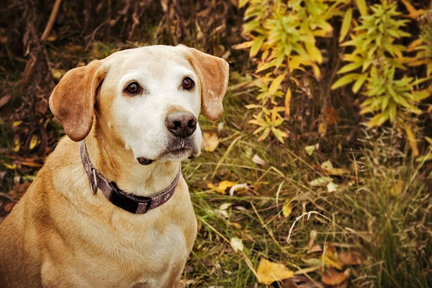 Photo vieux chien labrador parc à Brossard