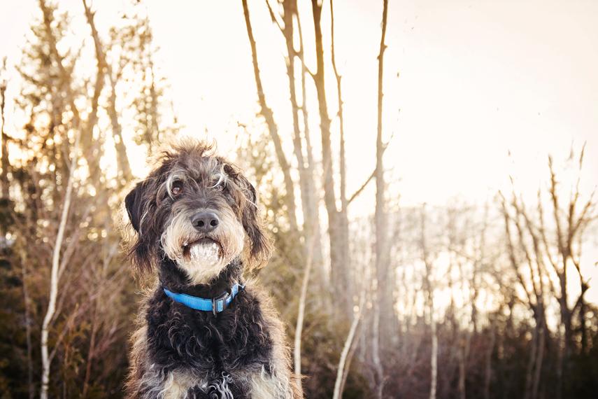 Portrait en hiver chien Schnoodle dog
