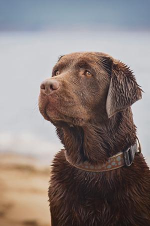 Chien labrador à la plage de Gaspé.