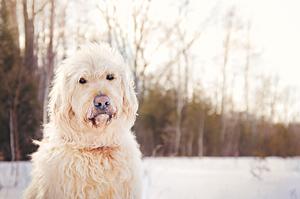 Photo chien goldendoodle en hiver avec neige.