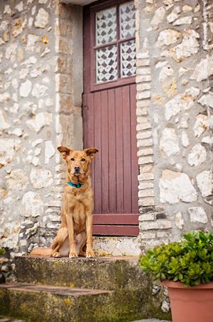 Portrait chien golden retriever dog portrait.