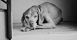 Portrait d'un chien Vizsla à la maison. Indoor old dog portrait.