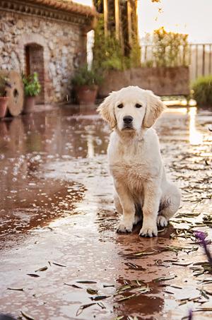 Photo d'un chiot, puppy photo Labrador retriever