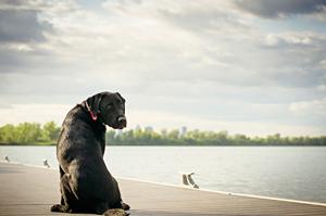 Portrait chien labrador à Brossard. Sunset dog portrait.