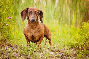 Portrait chien teckel au parc de la cité de St-Hubert.