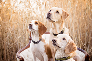 Photo de chiens labrador, beagle et caniche. Photo of dogs in Boucherville.