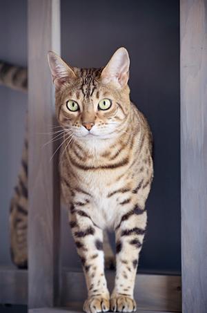 Portrait chat de Bengal cat photo.