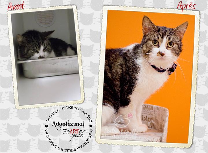 Portrait de chat aux services animaliers de la rive-sud