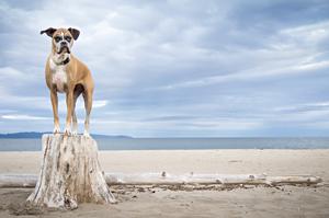 Photo d'un chien boxer à la plage. Dog at Haldimand beach.