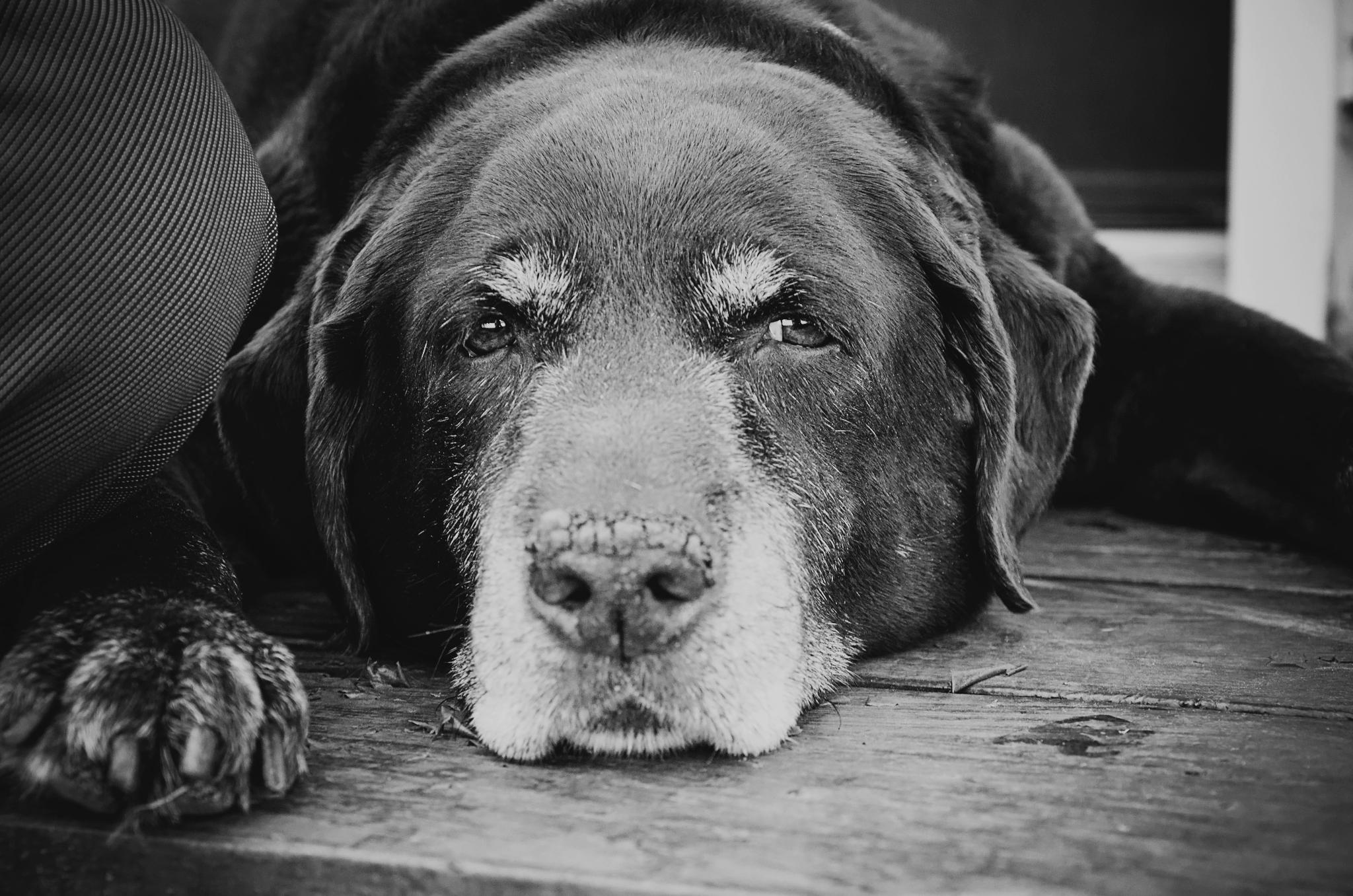 Photo hommage labrador âgé à domicile rive-nord
